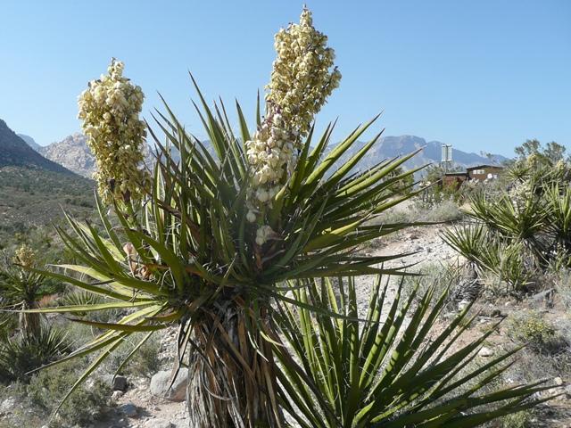 Yucca trong thủy sản
